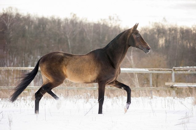 The Akhal-Teke features a golden iridescence that's evident on all colors except black