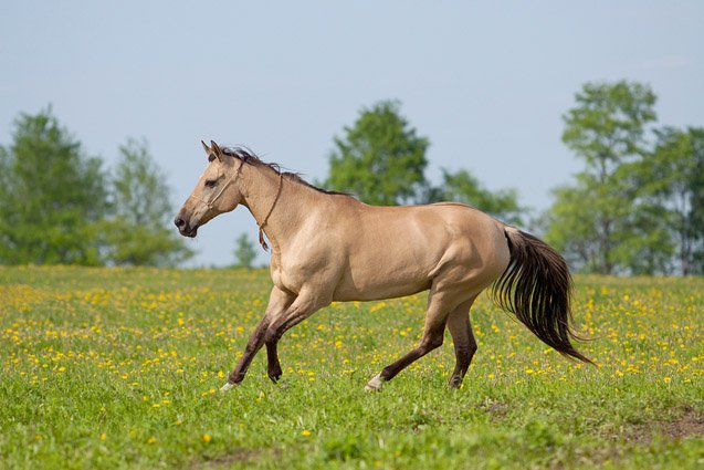 The Akhal-Teke is one of the oldest of all of the modern domesticated horse breeds.