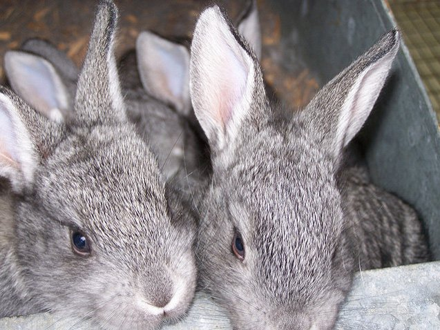 American Chinchilla Rabbits have a soft, short, rollback coat which does not need much maintenance.