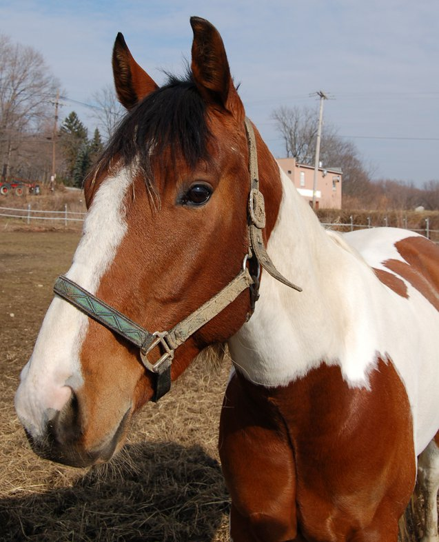 American Paint Horses are known for being friendly and social creatures.