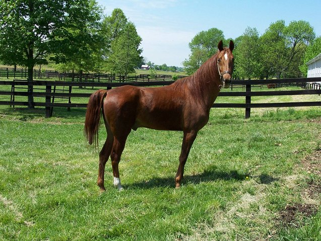 The American Saddlebred Horse is ideal for leisurely riding through fields and trails.