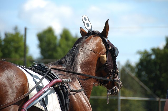 American Standardbred horses are bred and known for their speed.