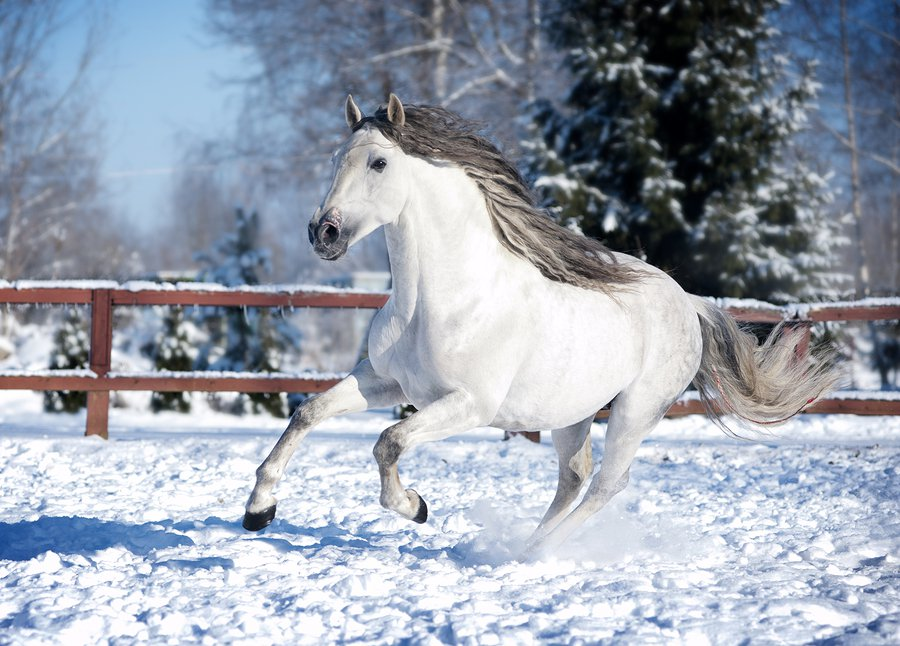 Andalusian Horses have a wonderful temperament.