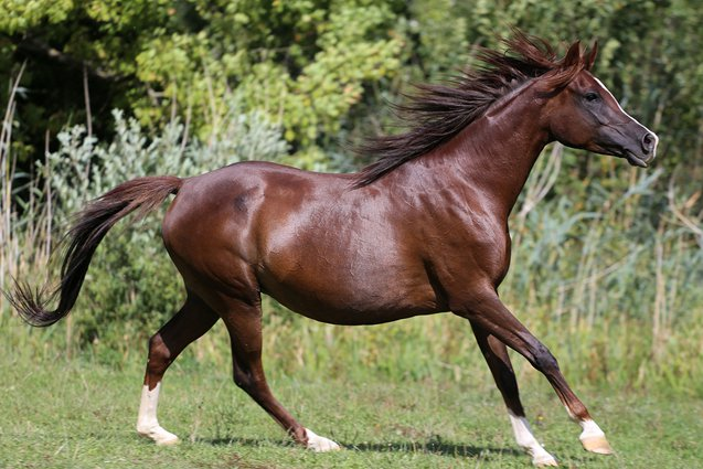 Because the Arabian Horse spent so much time in close contact with humans, it is a highly sociable breed.