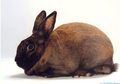 The Cinammon Rabbit loves to jump and run, reaching speeds up 30-40 miles per hour.