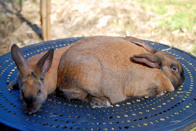 Cinnamon rabbits are great bunnies for first-time pet owners.