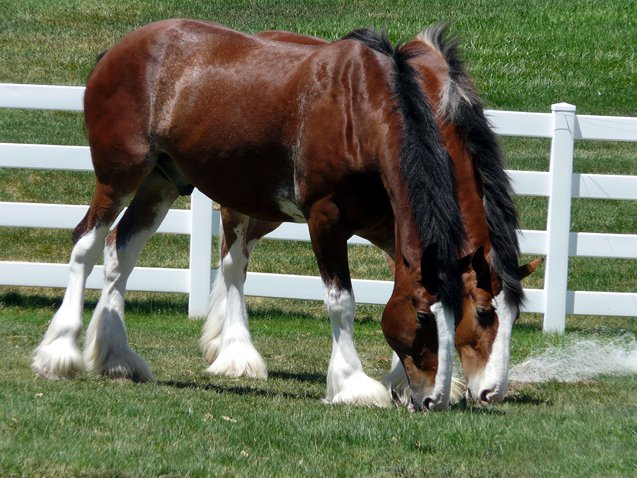 Clydesdale horses are adored for more than their unique appearance and strength, as they are also graceful, gentle-hearted, tender, and smart.