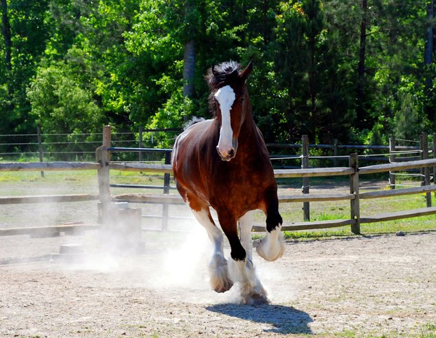 The Clydesdale breed is attractive, strong, and muscular.