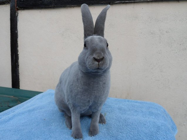 Lilac rabbits need to spend some time out of their enclosures if owners wish to have a docile, friendly pet that is accustomed to dealing with humans.