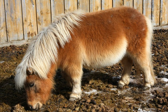 The Miniature Horse is  much easier to handle compared to full sized horses, and they make wonderful pets.