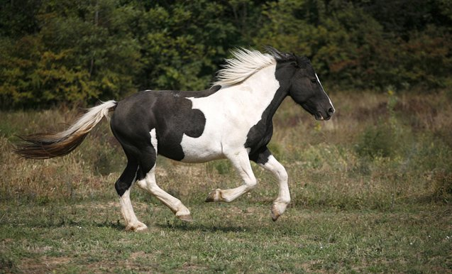 There is a Pinto Horse for every type of rider and for horse owners of all experience levels.