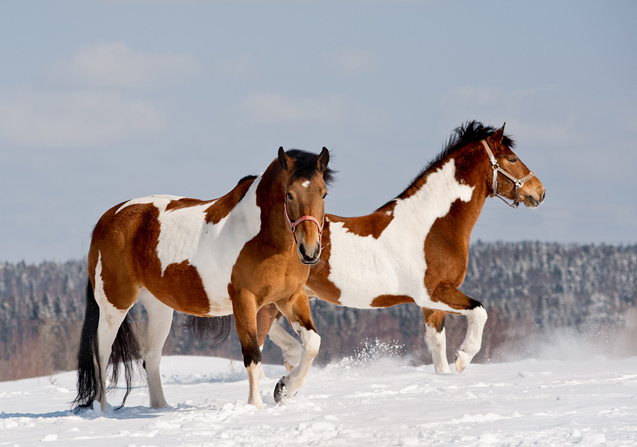 The Pinto Horse is multi-talented and can be used in a variety of settings and for a variety of tasks.