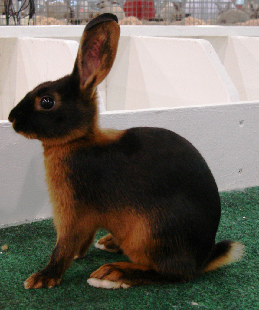 Tan rabbits have glossy flyback fur that's easy to maintain.