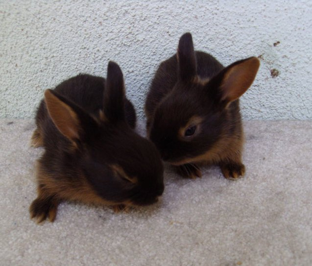 The Tan rabbit's friendly and curious nature makes it an excellent pet for a variety of owners.