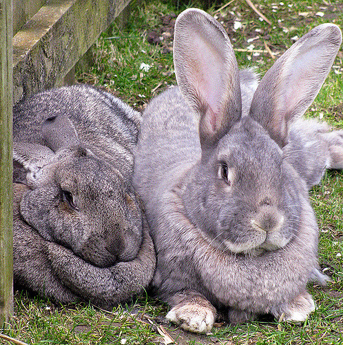 The British Giant Rabbit makes a wonderful family pet and house rabbit.