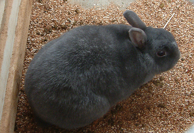 The Enderby Island Rabbit is a rare and endangered breed.