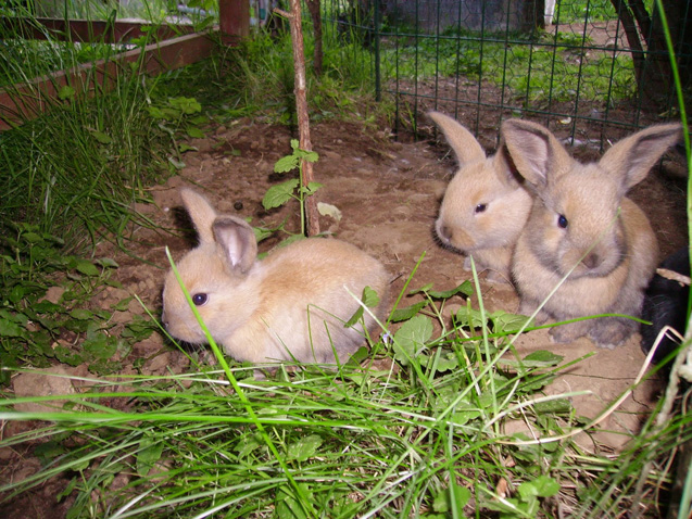 Gotland Rabbits are inquisitive and energetic.