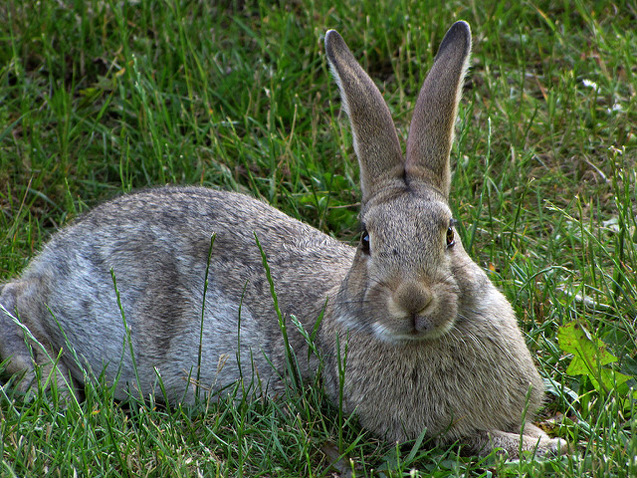 Gotland Rabbits will benefit from time spent exercising and interacting with you.
