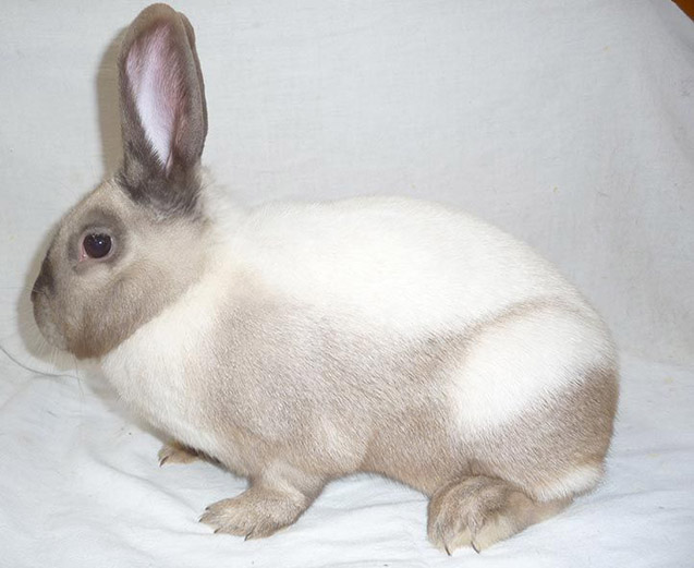 The Sallander Rabbit has a coat that looks like it's been painted by an artist.