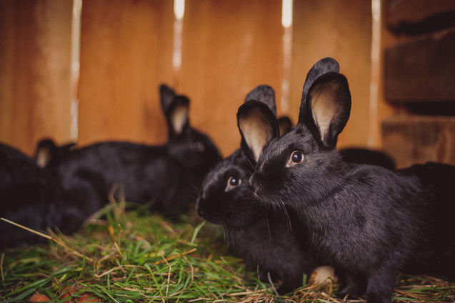 Siberian Rabbits are known for being docile, smart, and easygoing.