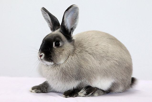 The Smoke Pearl Rabbit is a rare breed, so it is difficult to find.