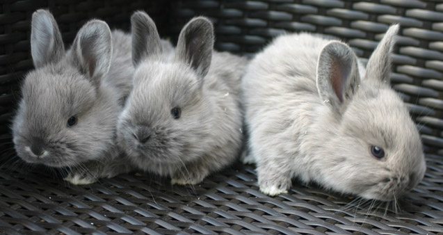 These rabbits are laid-back and enjoy being around people.