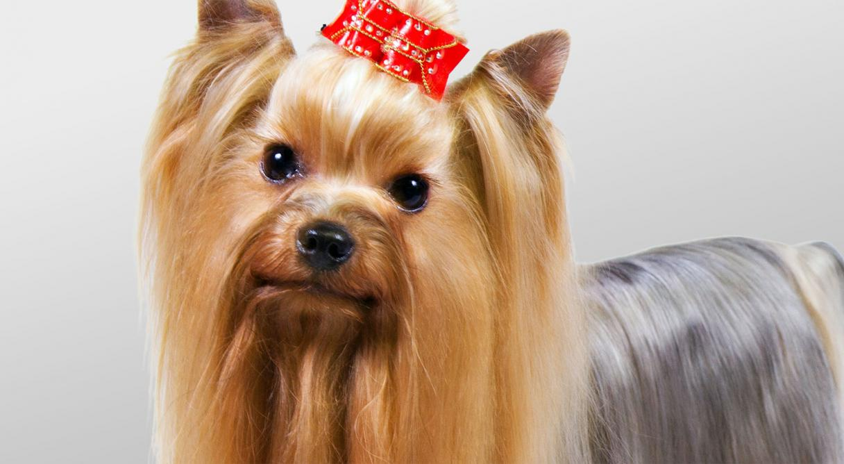 Yorkshire Terrier Yorkie Care Your Pet Dog Or Cat Online