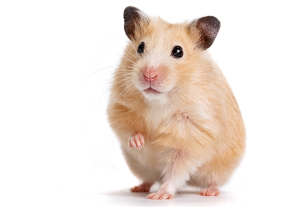 hamster care care your pet dog or cat online