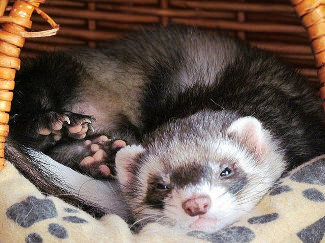 Tips: A Ferret Care Guide for Beginners