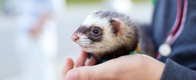 Tips To Ferret-Proof Your Home