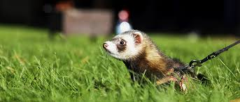 Ferret Food: A Recipe for Success