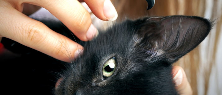 Ear Infections in Cats Health Care