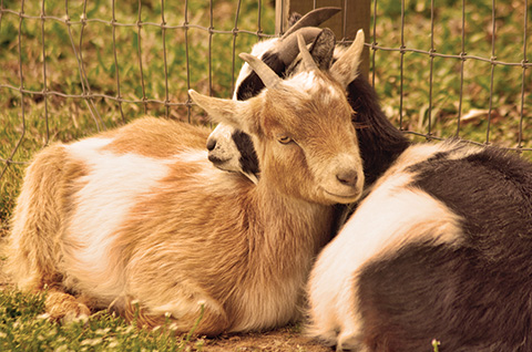 Goats love groups