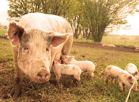 Pigs are family-oriented