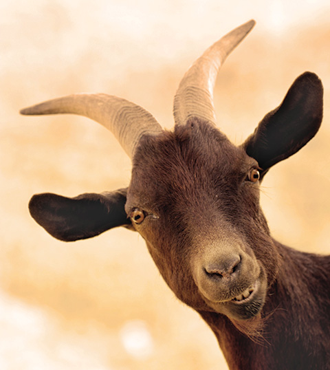 Goats can be optimists