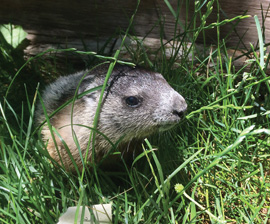 orphaned baby woodchuck