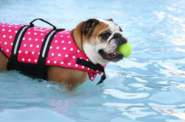 Dog Breeds That Can't Swim: Bulldog
