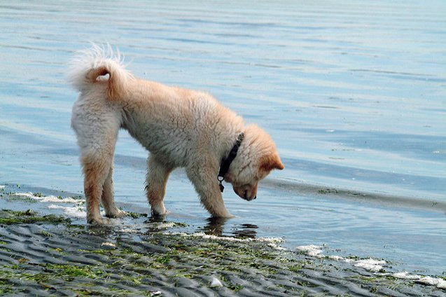 Dog Breeds That Can't Swim: Chow Chow