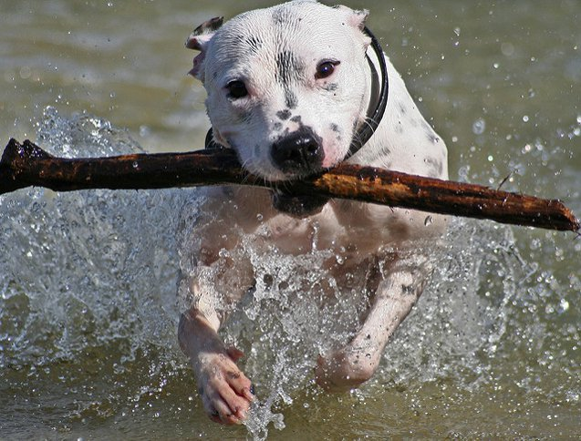 Dog Breeds That Can't Swim: Staffordshire Bull Terrier