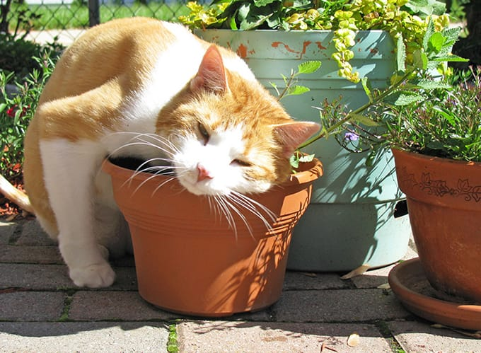 Cat rubbing its head against the flower pot